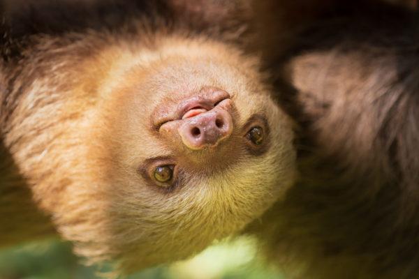 Donación oso perezoso costa rica ayudar